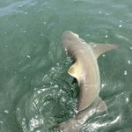 Lemon shark, around 7 ft. A new shark species for me. Great way to finish the trip.