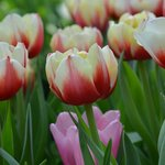 Tulip display ends on 7th May 2014