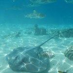 Shark and ray swim