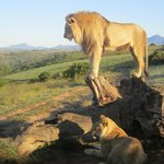 Walk with Lions on Safari
