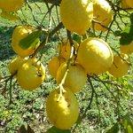 Zitronen aus dem Garten (Marmelade von Francesco!!)