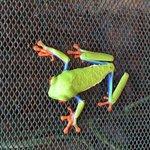 Red eye tree frog, beautiful!