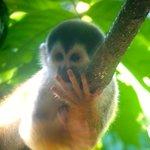 Squirrel Monkey, Corcovado