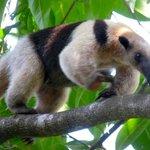 Tamandua (anteater), Corcovado