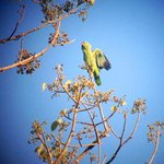 Mealy Parrot, Corcovado