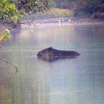 Tapir swimming, early morning, Corcovado