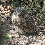 Cute burrowing owl