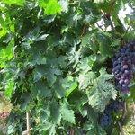 виноградник на территории