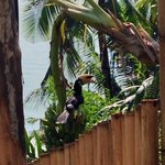 Hornbill on our fence!