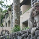 Our monkey friends. They always parade down the paths around 4/5pm. Keep at arms length.