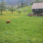 이국적인 스위스 소와 목장