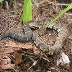 Water Moccasin at Corkscrew Sanctuary