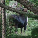 Moose Visitor