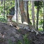 Cheetah Resting at the Naples Zoo
