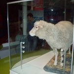 The world-famous sheep Dolly