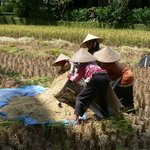 Harvesting rice (withing hotel complex)