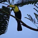 Keel-billed toucan spotted few times