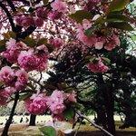 Sakura heaven!
