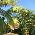 Beautiful fan palms in the backyard near the pool