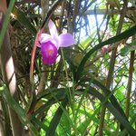 Gorgeous orchid growing in Jacki's front garden.