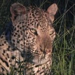 The leopard we followed for more than 1 hour
