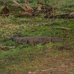Crocodile in Yalla Park