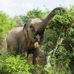 Elephant in Yalla Park