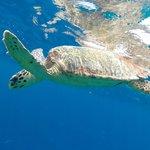 Reef Hawksbill turtle