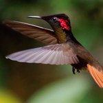A ruby topaz hummingbird