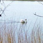 swan displaying