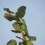 Iguana outside our tree house window