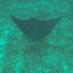 Snorkeling Trip -Spotted Eagle Ray