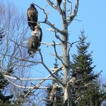 American Bald Eagles make The Eastland Motel their home!