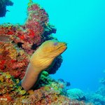 One of many Green Moray Eels seen while diving
