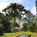 Another Araucaria