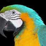 Blue-and-Yellow Macaw Richard C. Murray/RCM IMAGES, INC