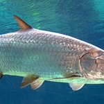 Silver Tarpon Fish Richard C. Murray/RCM IMAGES, INC