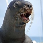 Sea Lion Barking Richard C. Murray/RCM IMAGES, INC