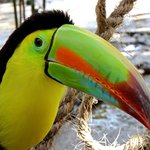 Keel-Billed Toucan Richard C. Murray/RCM IMAGES, INC