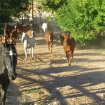Ranch horses leaving the corral going to pasture for the night