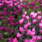 a brisk Spring day at Keukenhof