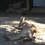 Kangaroos sleeping