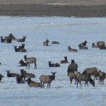 seeing the elk by car (free)