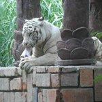White tiger feeding time