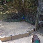 Peacock said hi to us.