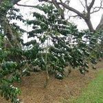 コナコーヒーの木