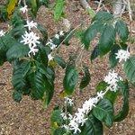 コナコーヒーの花