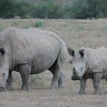 Momma and baby Rhino
