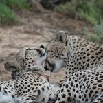 Two brothers after feeding on their kill