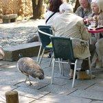 Peacocks around tables